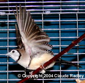 essex kent cage bird society breeding owl finches